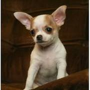AKC registered and home raised and chihuahua puppies for adoption
